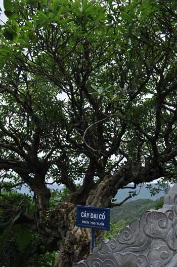 Cet arbre multicentenaire a plus de 700 ans.