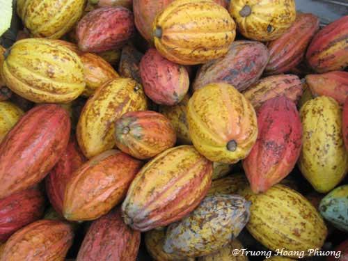 Cacao cultivé à Mỹ Tho.