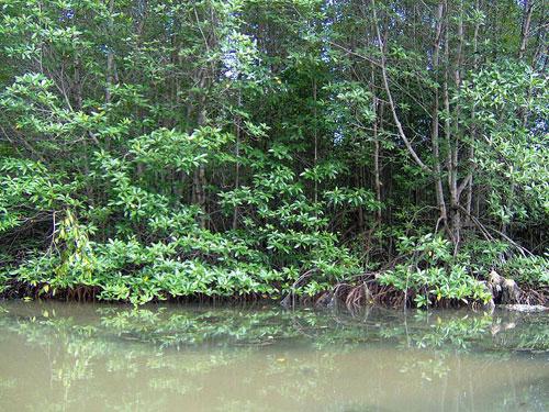 Forêt de mangroves de Cần Giờ.